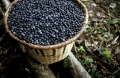 Acai berries fight cancer