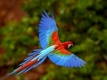 Amazon Macaw