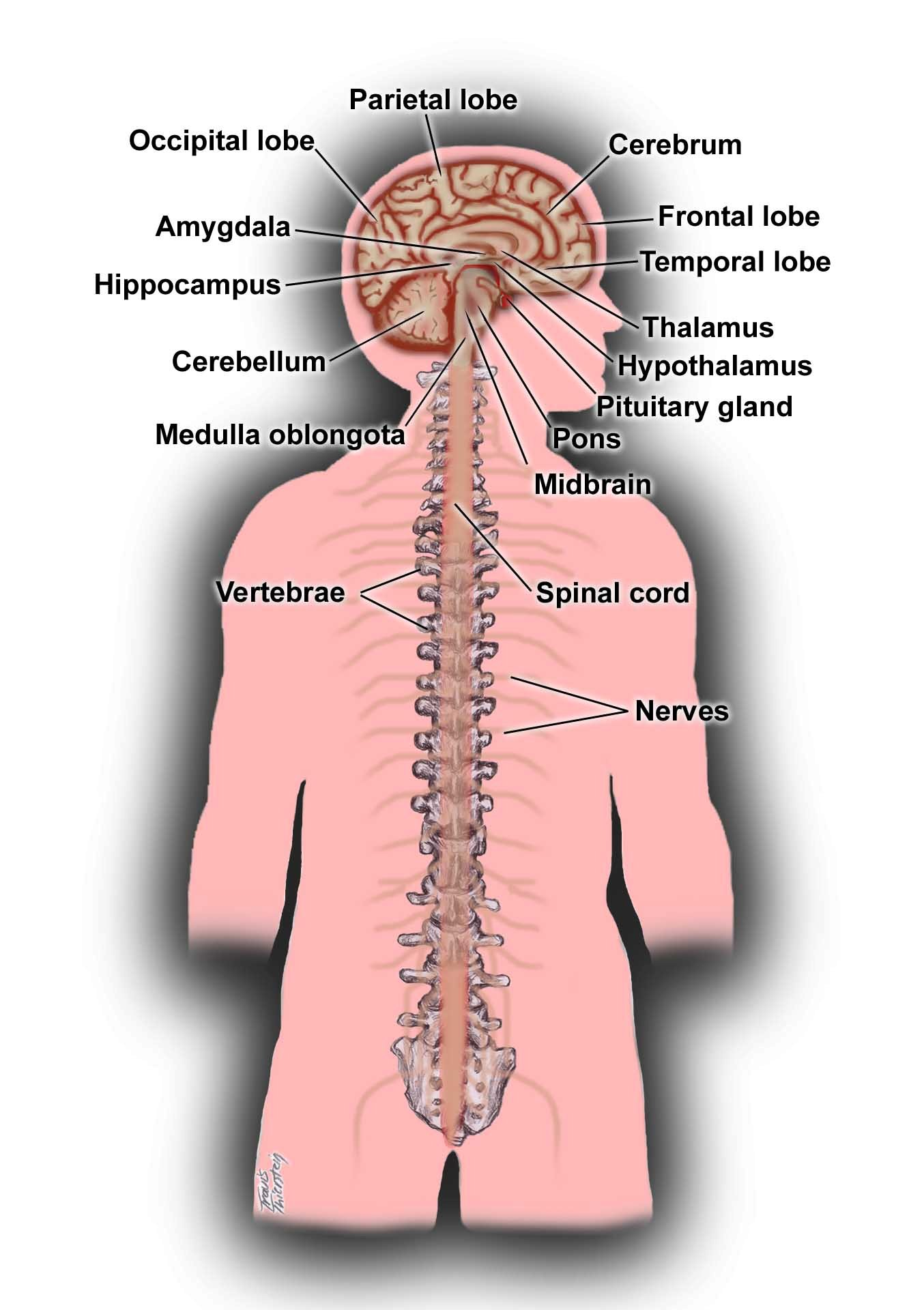 Central Nervous System | ENCOGNITIVE.