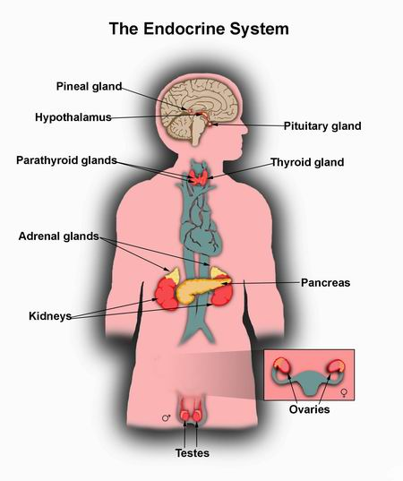endocrine system | encognitive, Human Body